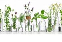 סודות צמחי המרפא